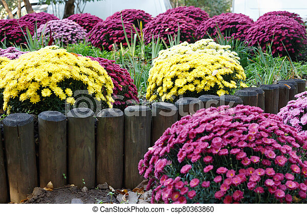 Bouquets of multicolored chrysanthemums for sale - csp80363860