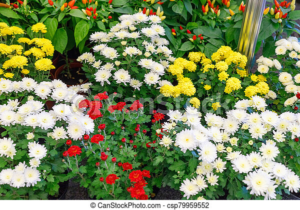 Bouquets of multicolored chrysanthemums for sale - csp79959552