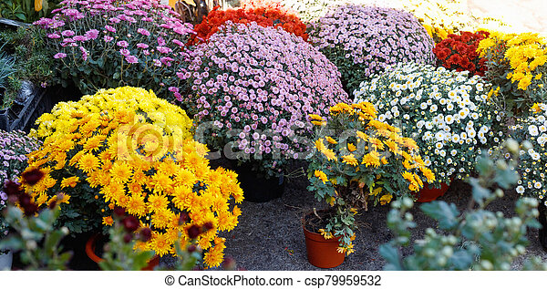 Bouquets of multicolored chrysanthemums for sale - csp79959532