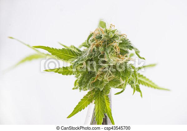 bourgeon, (black, sur, cannabis, strain), isolé, fond blanc, détail, russe, marijuana - csp43545700
