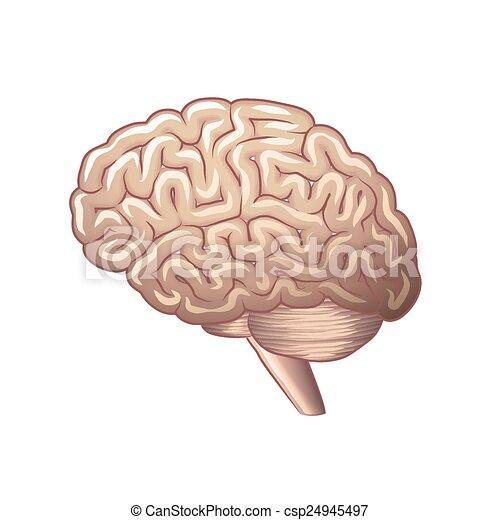 Brain anatomy isolated on white vector - csp24945497