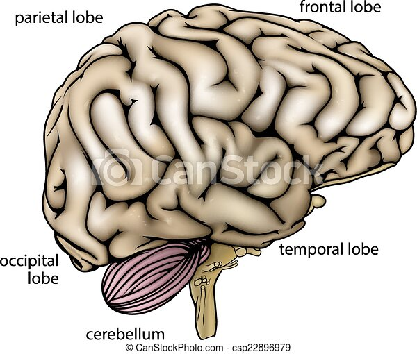 Brain anatomy labelled diagram an illustration or anatomy diagram brain anatomy labelled diagram csp22896979 ccuart Image collections