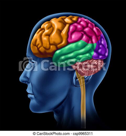 Brain lobe sections On Black - csp9965311
