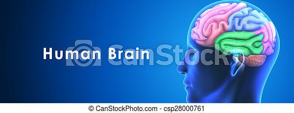 Brain - csp28000761