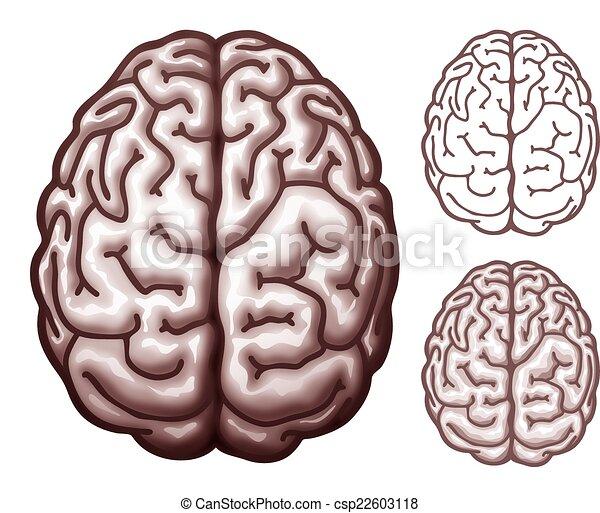 Brain. top view. Human brain. top view. eps10 ...