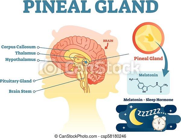Informationen, brains., abschnitt, kreuz, abbildung, anatomisches ...