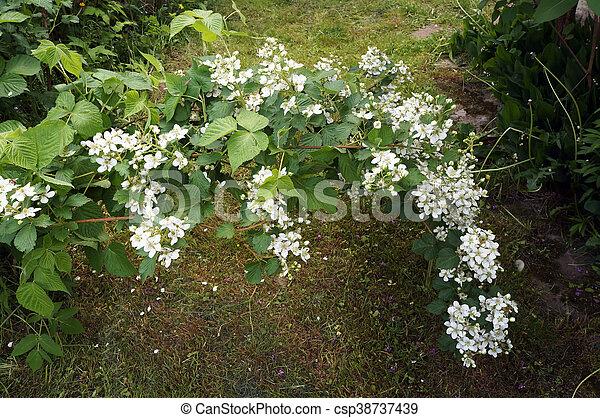 Bramble bush white flowers of dewberry bramble bush with flowers bramble bush white flowers of dewberry csp38737439 mightylinksfo