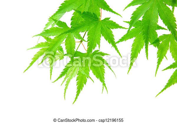 branca, verde, isolado, maple sai - csp12196155