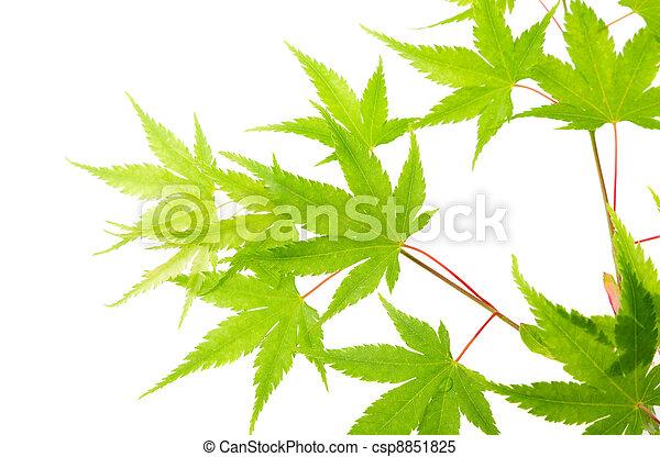 branca, verde, isolado, maple sai - csp8851825