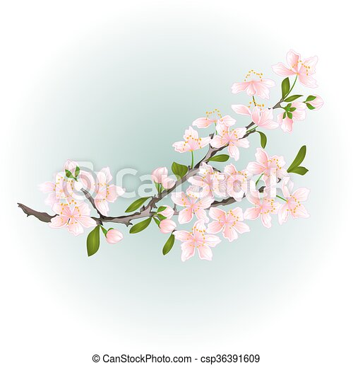 Branch cherry with blossoms vector - csp36391609