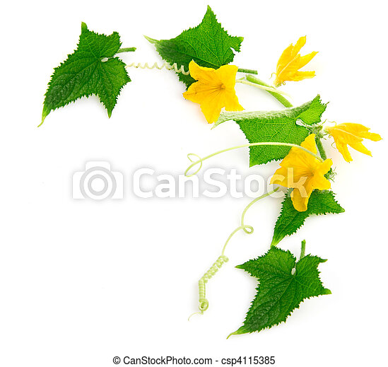 branch cucumber plant with flowers - csp4115385