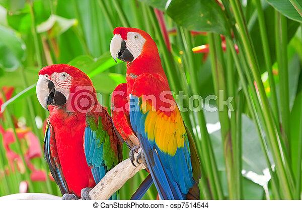 branch, klar, tropisk, his, store, papegøjer - csp7514544