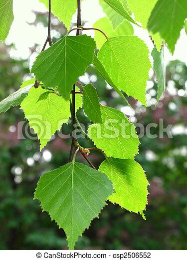branch of a birch - csp2506552