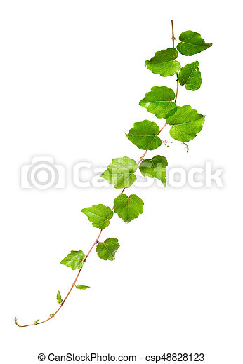 Branch of a climbing plant isolated on a white background - csp48828123