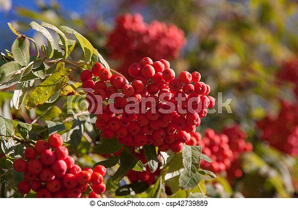 Branch of a mountain ash - csp42739889