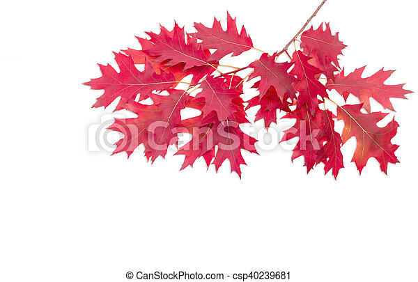 Branch of a oak with autumn leaves on light background - csp40239681
