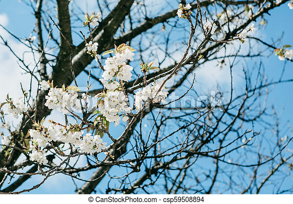 Branch of a tree with white flowers against the blue sky. - csp59508894