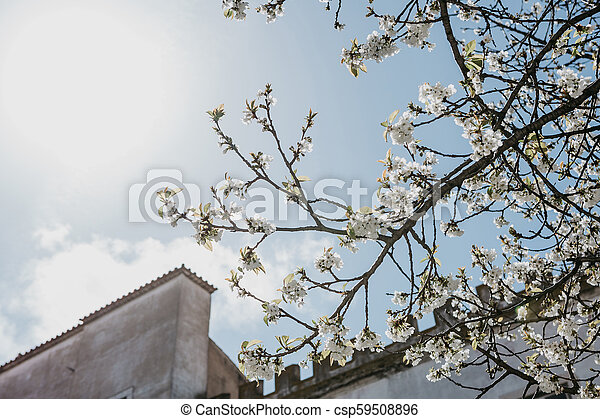Branch of a tree with white flowers against the blue sky. - csp59508896