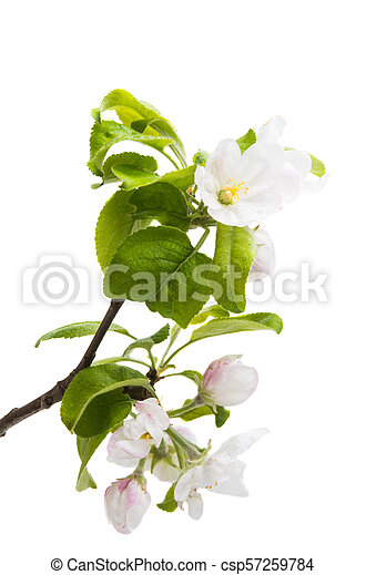 branch of an apple-tree with flowers isolated - csp57259784