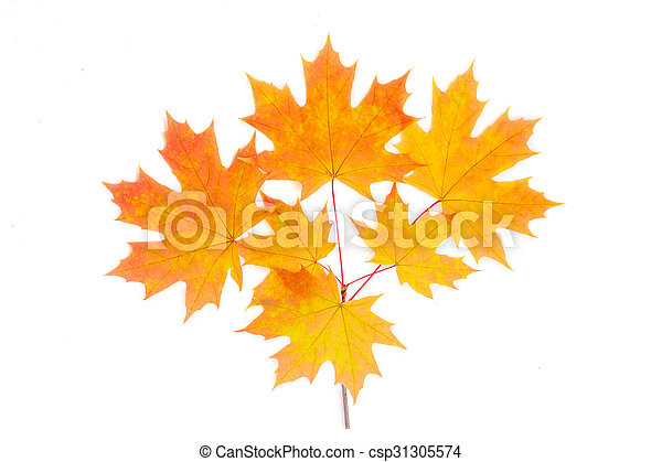 Branch of autumn maple on a light background - csp31305574