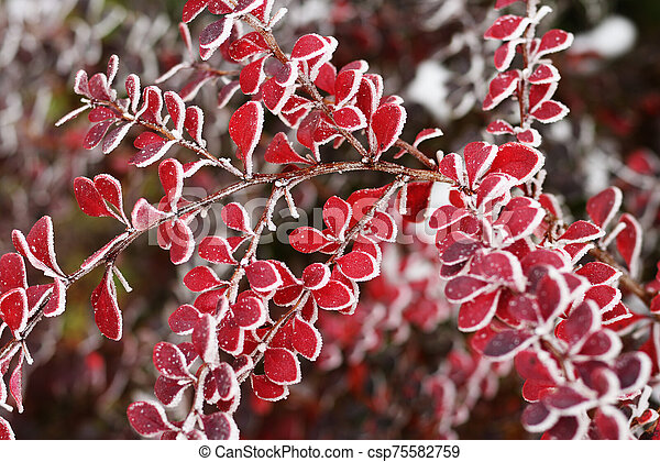 Branch of barberry with red frosty leaves - csp75582759
