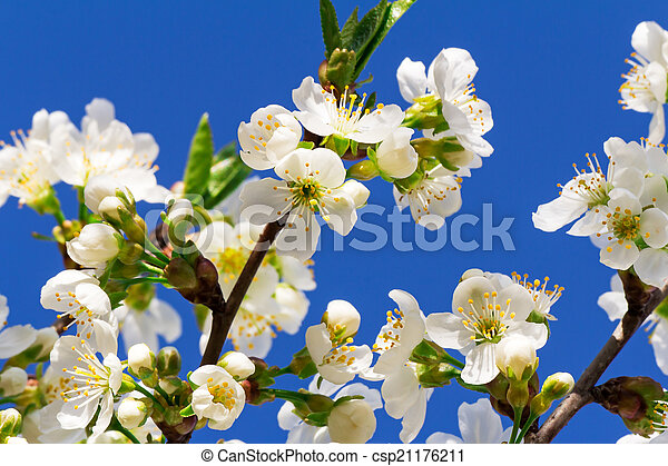 Branch of blossoming cherry against the blue sky. - csp21176211
