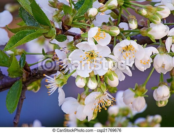 Branch of blossoming cherry against the blue sky. - csp21769676