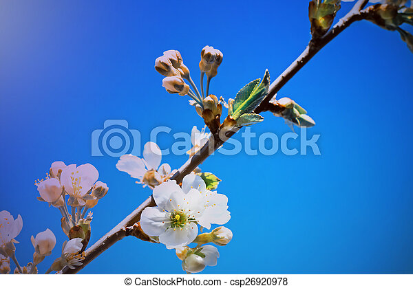 Branch of blossoming cherry against the blue sky. - csp26920978