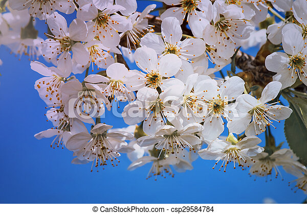 Branch of blossoming cherry against the blue sky. - csp29584784