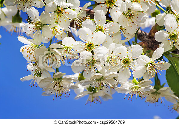 Branch of blossoming cherry against the blue sky. - csp29584789