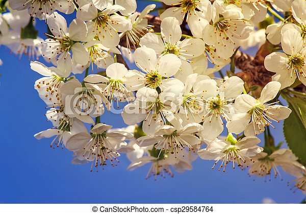 Branch of blossoming cherry against the blue sky. - csp29584764