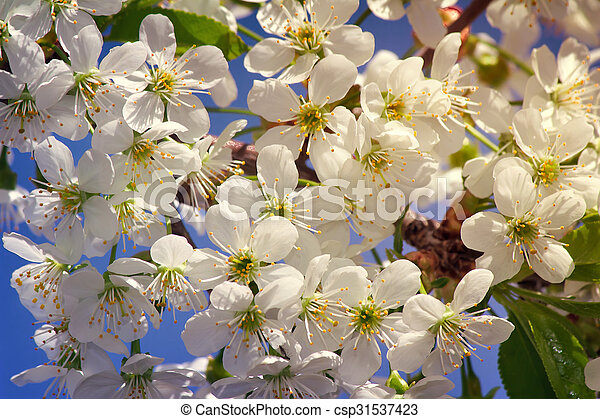 Branch of blossoming cherry against the blue sky. - csp31537423
