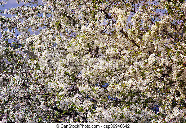 Branch of blossoming cherry against the blue sky. - csp36946642