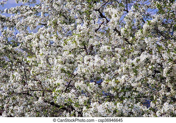 Branch of blossoming cherry against the blue sky. - csp36946645