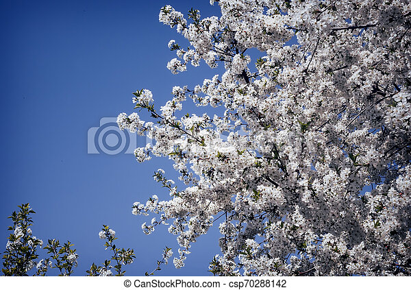 Branch of blossoming cherry against the blue sky. - csp70288142