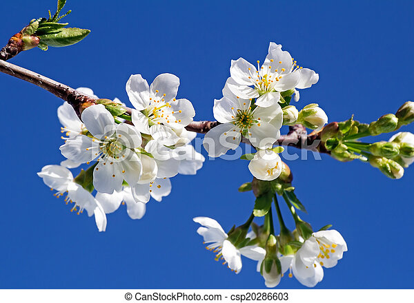 Branch of blossoming cherry against the blue sky. - csp20286603