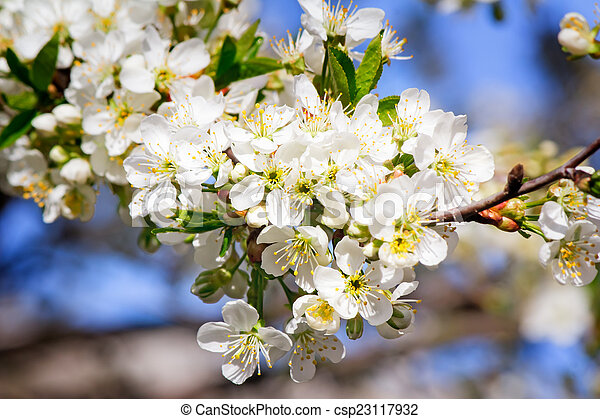 Branch of blossoming cherry against the blue sky. - csp23117932