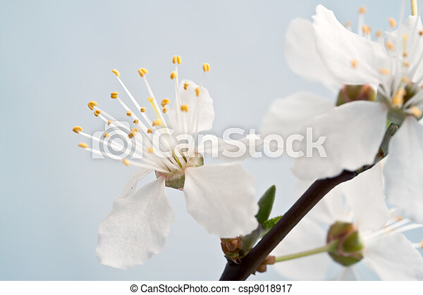 branch of cherry blossoms against the blue sky - csp9018917