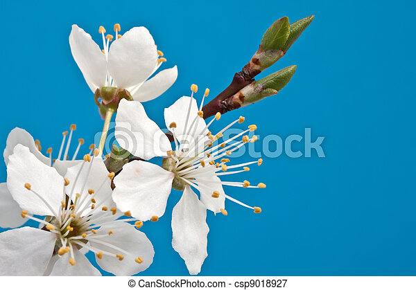 branch of cherry blossoms against the blue sky - csp9018927
