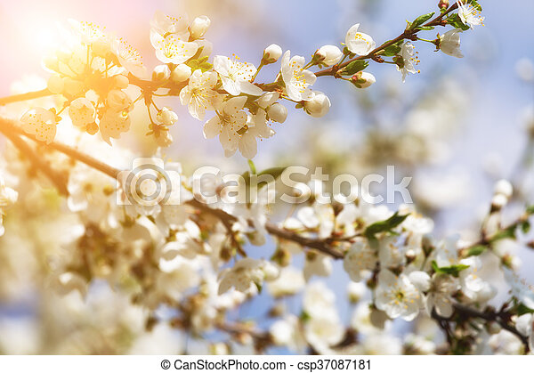 branch of cherry blossoms against the blue sun sky - csp37087181