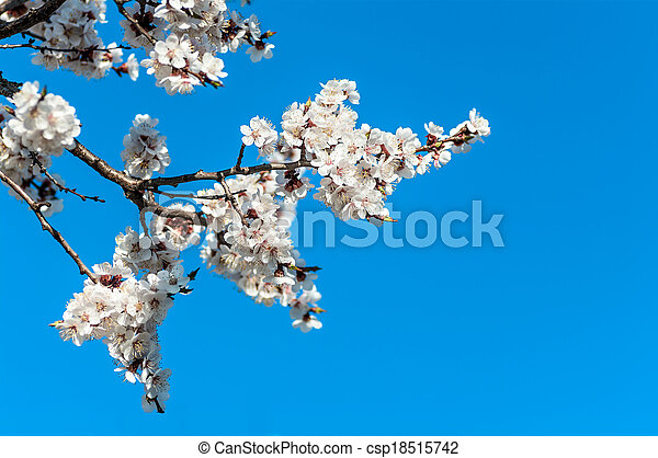 branch of cherry blossoms against the blue sky - csp18515742