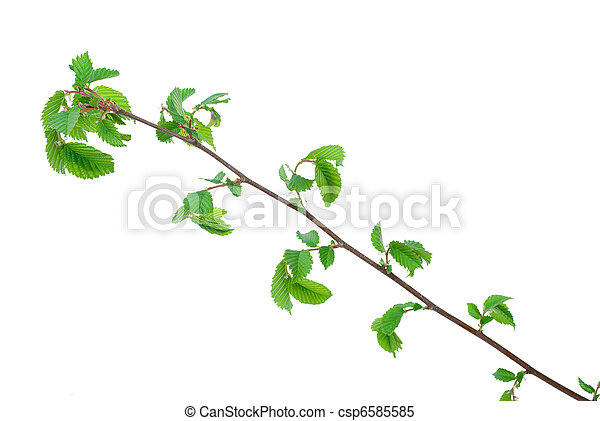 Branch of elm tree with spring buds on white background - csp6585585