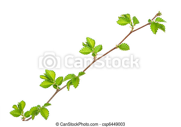 Branch of elm tree with spring buds on white background - csp6449003