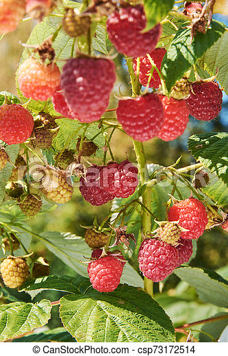 Branch Of Fall Bearing Raspberry With Many Berries Branch Of Fall