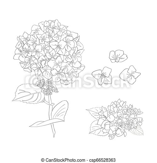 Branch of hydrangea flowers. Set of Isolated florals object on white background. - csp66528363
