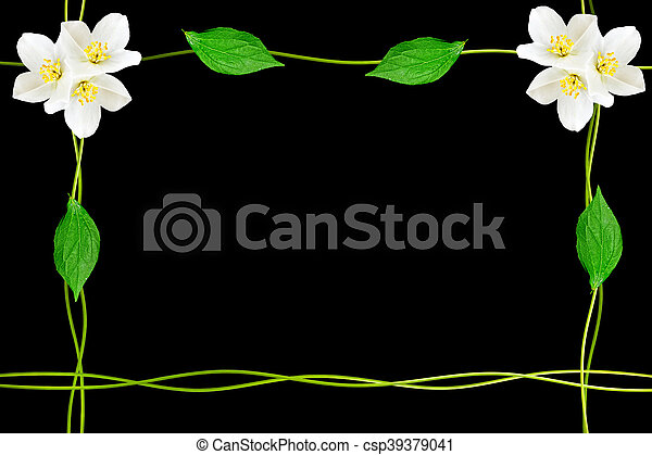 branch of jasmine flowers isolated on black background. spring - csp39379041