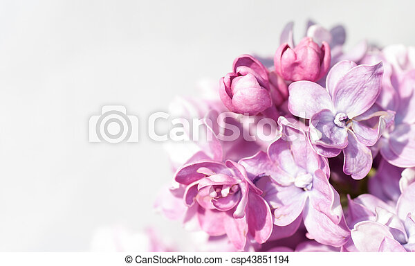 branch of lilac on a gray background - csp43851194