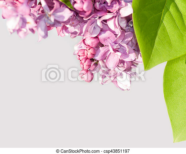 branch of lilac on a gray background - csp43851197