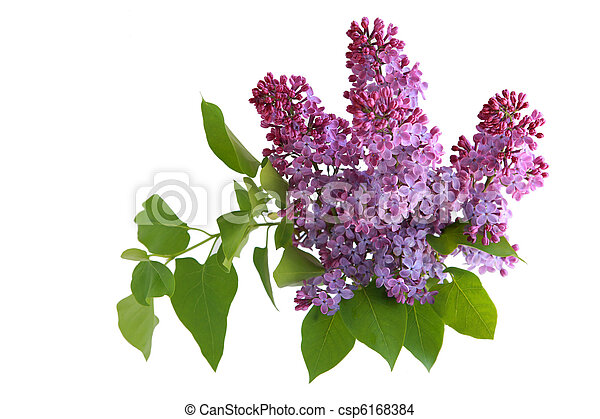 Branch of lilac - csp6168384