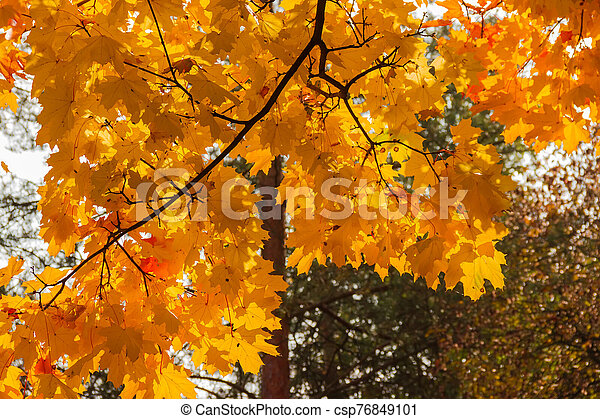 Branch of maple with autumn leaves against forest, background - csp76849101